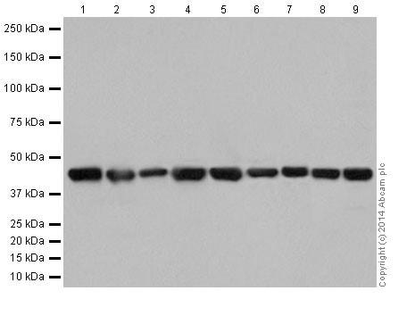 Western blot - Anti-Actin antibody [EPR16875] (ab200658)