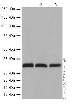 Western blot - Anti-RAET1E antibody [EPR17443] (ab200662)