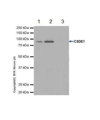 Immunoprecipitation - Anti-CSDE1/NRU antibody [EPR17413] (ab200663)
