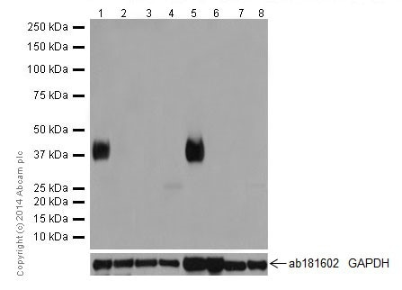 Western blot - Anti-Tmem27 antibody [EPR17748] (ab200664)