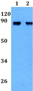 Western blot - Anti-MS2 antibody (ab200670)