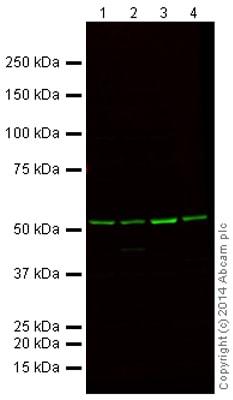 Western blot - Mouse Loading Control Antibody Panel (Alexa Fluor® 790) (ab200701)