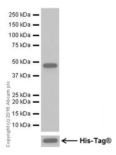 Western blot - Anti-DUSP5 antibody [EPR19684] (ab200708)