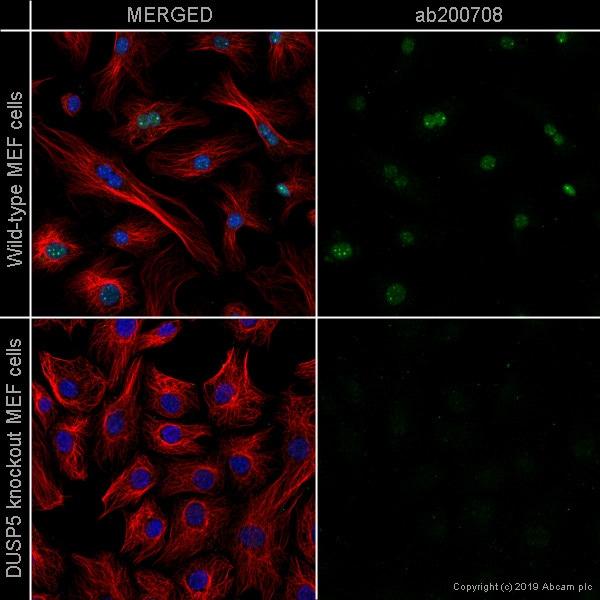 Immunocytochemistry/ Immunofluorescence - Anti-DUSP5 antibody [EPR19684] (ab200708)