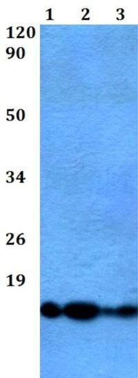 Western blot - Anti-ATP5J2 antibody (ab200715)