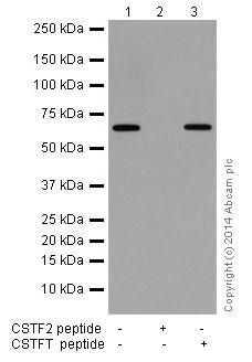 Western blot - Anti-CstF-64 antibody [EPR15698] (ab200837)