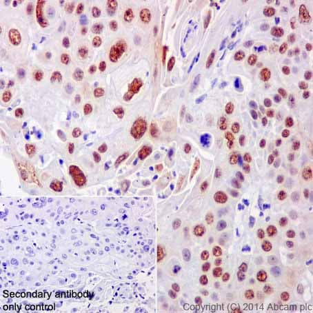 Immunohistochemistry (Formalin/PFA-fixed paraffin-embedded sections) - Anti-CstF-64 antibody [EPR15698] (ab200837)