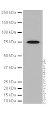 Western blot - Anti-HSPA12A antibody [EPR16763] (ab200838)