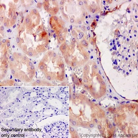 Immunohistochemistry (Formalin/PFA-fixed paraffin-embedded sections) - Anti-HSPA12A antibody [EPR16763] (ab200838)
