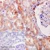 Immunohistochemistry (Formalin/PFA-fixed paraffin-embedded sections) - Anti-HSPA12A antibody [EPR16763] (ab200838)