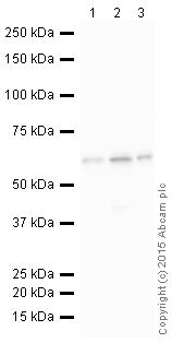 Western blot - HRP Anti-AKT1 + AKT2 + AKT3 antibody [EPR16798] (ab200854)