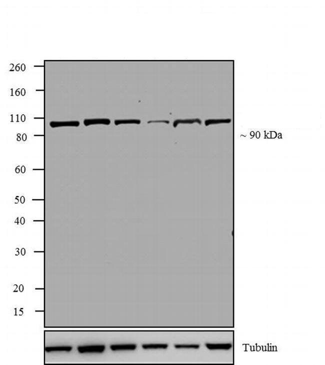 Western blot - Anti-Topoisomerase I antibody [23B11] (ab200869)