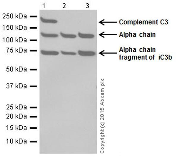Western blot - Anti-C3 antibody [EPR19394] (ab200999)