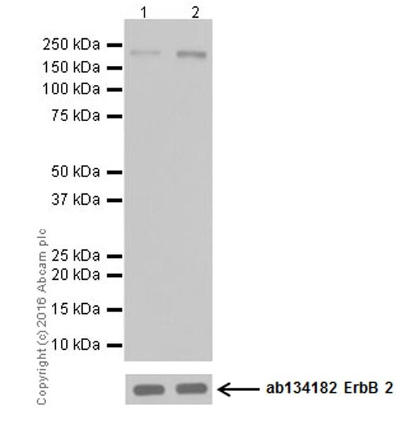 Western blot - Anti-ErbB 2 (phospho Y1248) + ErbB 4 (phospho Y1284) antibody [EPR19547] (ab201013)