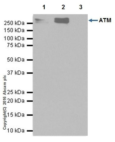Immunoprecipitation - Anti-ATM antibody [EPR20100] - ChIP Grade (ab201022)