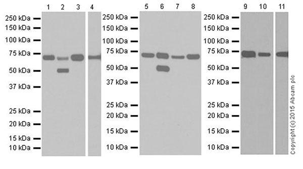 Western blot - Anti-Annexin-6/ANXA6 antibody [EPR19517] (ab201023)