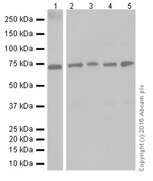 Western blot - Anti-Annexin-6/ANXA6 antibody [EPR19536] (ab201024)