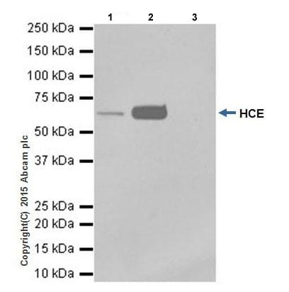 Immunoprecipitation - Anti-HCE antibody [EPR19384] (ab201046)