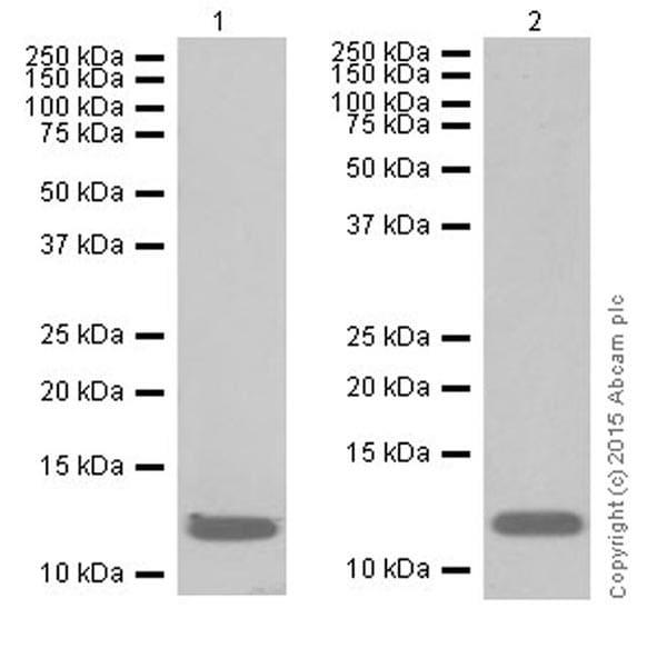 Western blot - Anti-Histone H4 (crotonyl K8) antibody [EPR17905(R)] (ab201075)