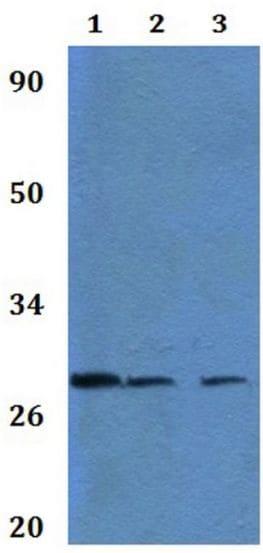 Western blot - Anti-Granzyme M antibody (ab201102)