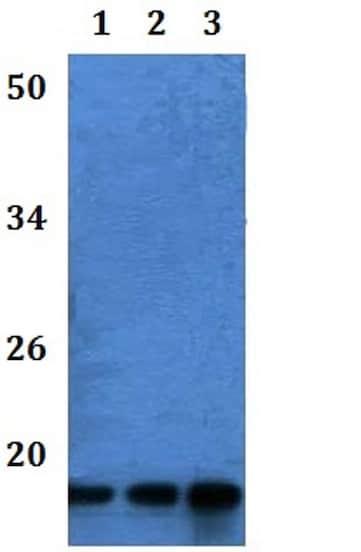 Western blot - Anti-ATP5G1 antibody (ab201108)