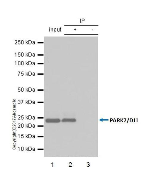 Immunoprecipitation - Anti-PARK7/DJ1 antibody [EPR19466-105] (ab201147)