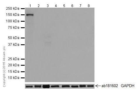 Western blot - Anti-TTC21A/STI2 antibody [EPR17437] (ab201229)