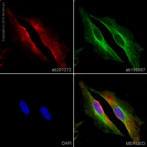 Immunocytochemistry/ Immunofluorescence - Anti-GAPDH antibody [EPR16891] (Alexa Fluor® 647) (ab201272)