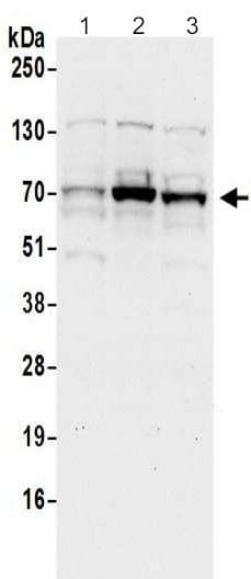 Western blot - Anti-TRAFD1 antibody - N-terminal (ab201308)