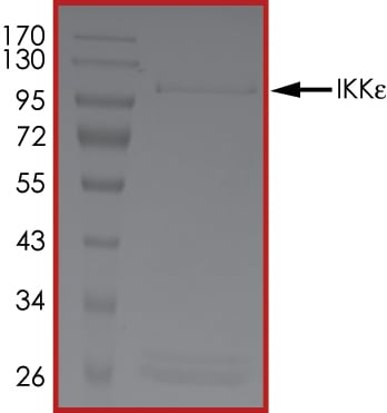SDS-PAGE - Recombinant human IKKi/IKKe protein (ab201367)