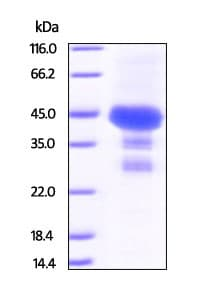 SDS-PAGE - Recombinant Human PTP4A2/PRL2 protein (ab201376)