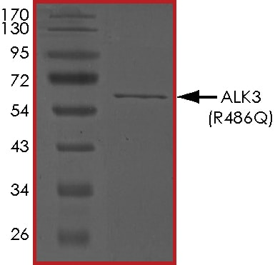 SDS-PAGE - Recombinant human BMPR1A (mutated R486 Q) protein (ab201403)