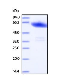 SDS-PAGE - Recombinant Human Ephrin A3 protein (ab201415)