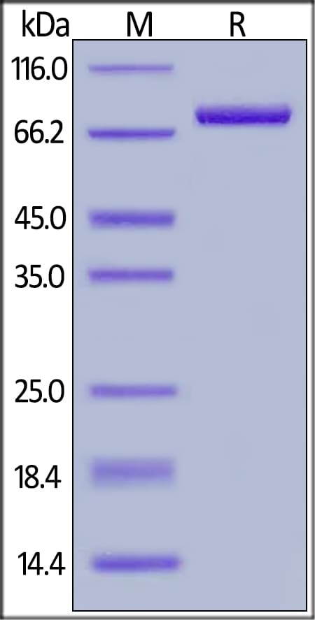 SDS-PAGE - Recombinant Rhesus monkey CD4 protein (Fc Chimera) (ab201425)