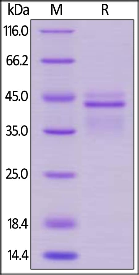 SDS-PAGE - Recombinant human IL-12 protein (ab201430)