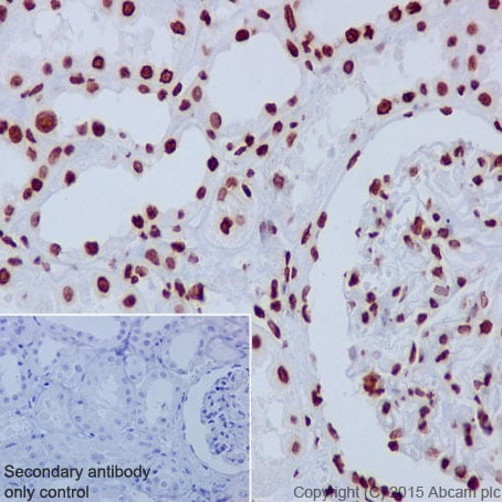 Immunohistochemistry (Formalin/PFA-fixed paraffin-embedded sections) - Anti-Histone H3 antibody [EPR17785] (ab201456)