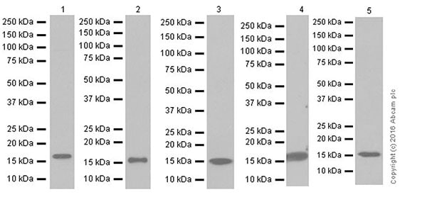 Western blot - Anti-AG-3 antibody [EPR19606] (ab201464)