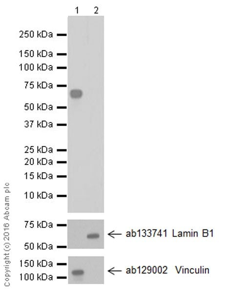 Western blot - Anti-KIAA0652/ATG13 antibody [EPR19601] (ab201467)