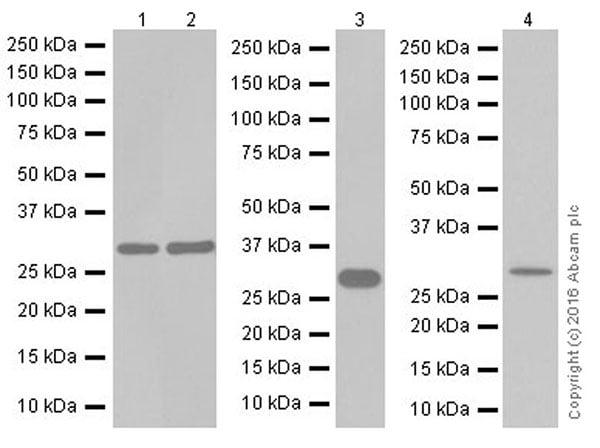 Western blot - Anti-ATP6V1E1 antibody [EPR19602] (ab201468)