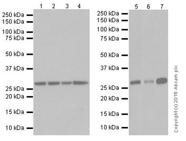 Western blot - Anti-PCGF5 antibody [EP19476] (ab201511)