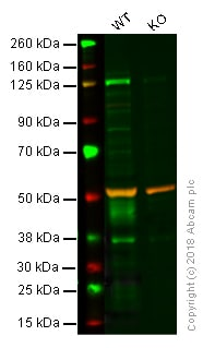 Western blot - Anti-Tissue Factor antibody [MM0700-21U4] (ab201598)