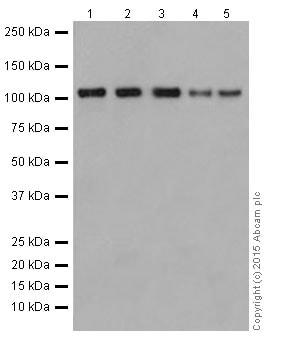 Western blot - Anti-GEF H1 antibody [EPR17963] - C-terminal (ab201687)