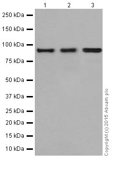 Western blot - Anti-CSDE1/NRU antibody [EPR17414] (ab201688)