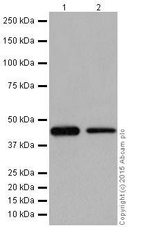 Western blot - Anti-PIGK antibody [EPR17843] (ab201693)