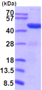 SDS-PAGE - Recombinant Mouse PGK1 protein (ab201713)