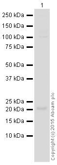 Western blot - Anti-Bid antibody [Y8] (HRP) (ab201754)