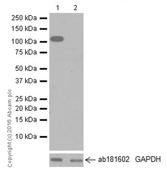 Western blot - Anti-NLRC4 antibody [EPR19733] (ab201792)