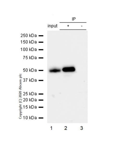 Immunoprecipitation - Anti-IRF3 antibody [EP2419Y] - BSA and Azide free (ab201810)