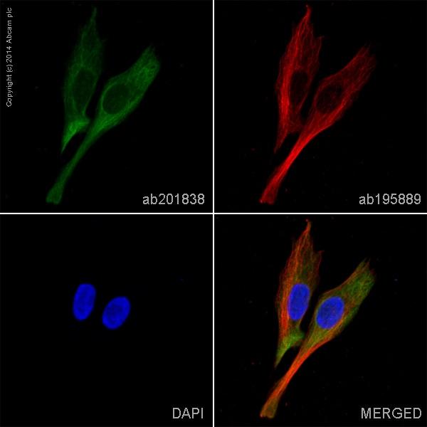Immunocytochemistry/ Immunofluorescence - Alexa Fluor® 488 Anti-PGP9.5 antibody [346CT2.5.1] (ab201838)