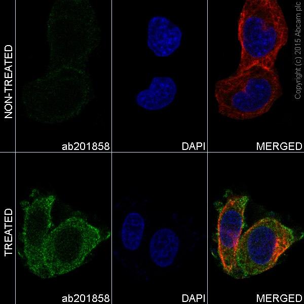 Immunocytochemistry/ Immunofluorescence - Alexa Fluor® 488 Anti-SRC Family (phospho Y418) antibody [EP503Y] (ab201858)